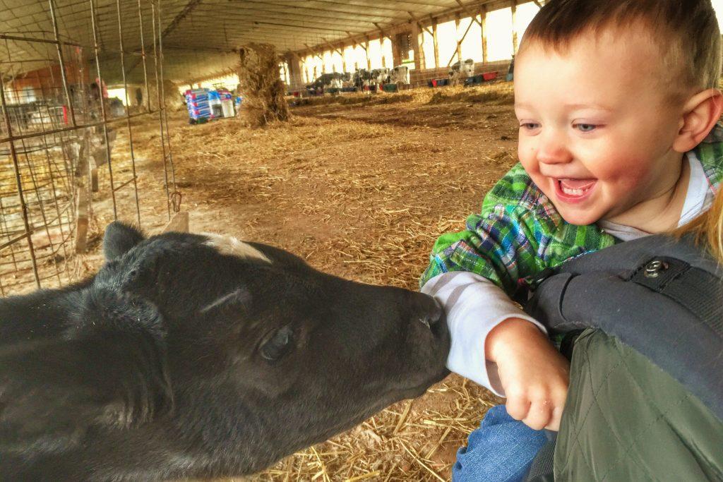 Mason gives a calf a bite